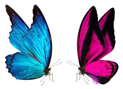 Zwei Schmetterlinge: einer blau, einer rosa
